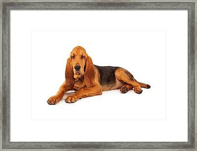 Adorable Large Bloodhound Puppy Framed Print by Susan Schmitz