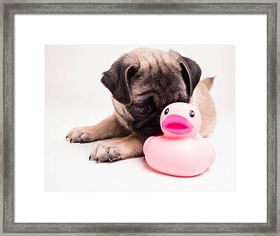 Adorable Pug Puppy With Pink Rubber Ducky Framed Print