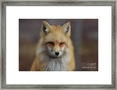 Adorable Red Fox Framed Print