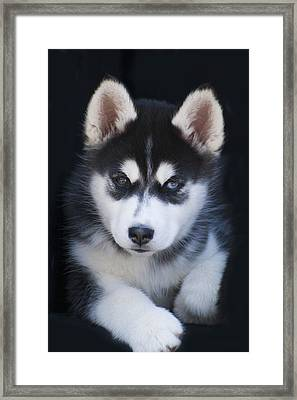 Adorable Siberian Husky Sled Dog Puppy Framed Print