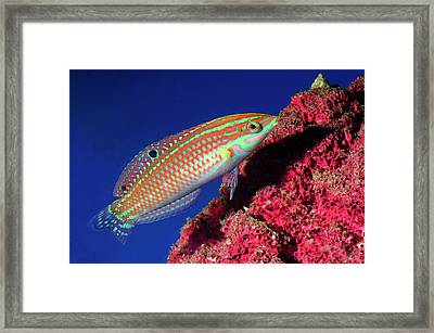 Adorned Wrasse Framed Print