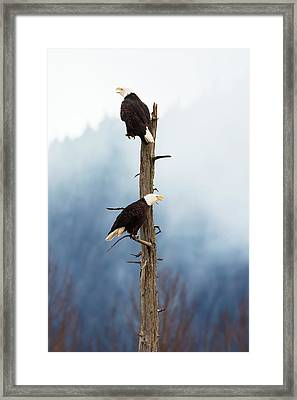 Adult Bald Eagles  Haliaeetus Framed Print by Doug Lindstrand