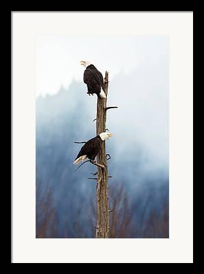 South American Eagle Framed Prints