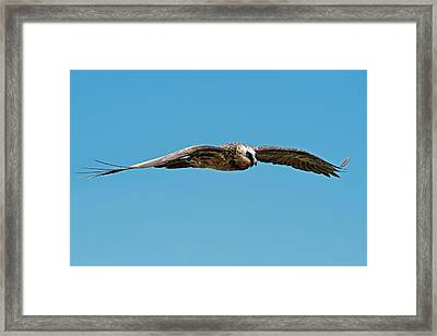 Adult Bearded Vulture In Flight Framed Print by Tony Camacho