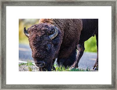 Adult Bison Staring Framed Print by Andres Leon