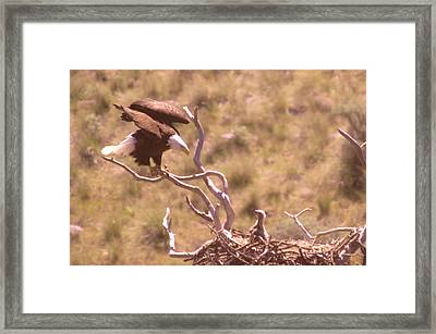 Adult Eagle With Eaglet  Framed Print