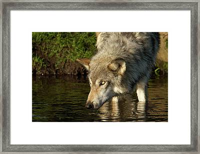 Adult Grey Wolf Canis Lupus Framed Print by Debbie Dicarlo