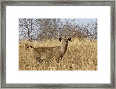 Adult Male, Sambar Deer, Ranthambore Framed Print by Adam Jones