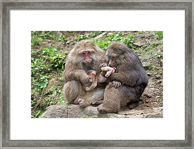 Adult Tibetan Macaques Grooming Infant. Framed Print