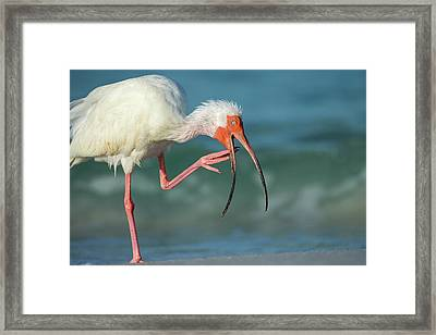 Adult White Ibis Scratching Framed Print