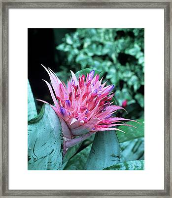 Aechmea Fasciata Flower Framed Print