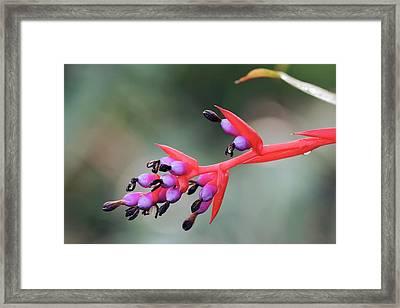 Aechmea Weilbachii In Flower Framed Print