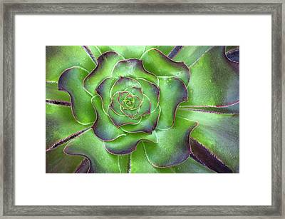 Aeonium Arboreum 'voodoo' Leaves Abstract Framed Print by Nigel Downer