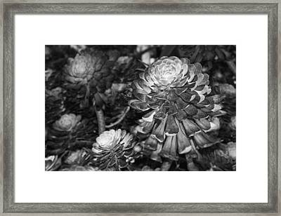 Aeonium Black And White Framed Print by Kelley King