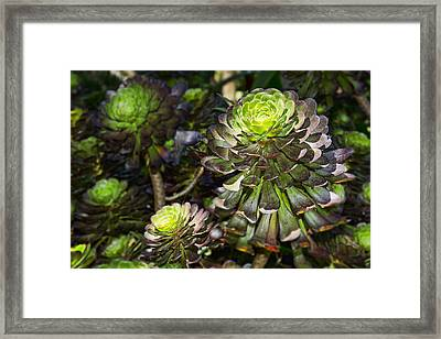 Aeonium Glow Framed Print by Kelley King