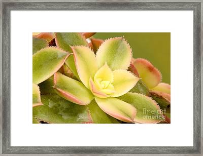 Aeonium Kiwi Framed Print by Cheryl Power