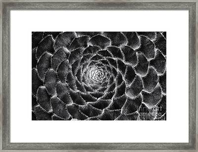 Aeonium Monochrome Framed Print by Tim Gainey