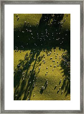 Aerial View Of Sheep Grazing Framed Print by Jason Hosking