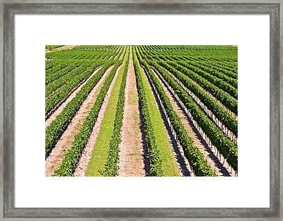 Aerial View Of Vineyard In Ontario Canada Framed Print by Marek Poplawski