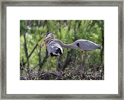 Affectionate Great Blue Heron Mates Framed Print