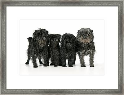 Affenpinscher Dogs Framed Print by John Daniels