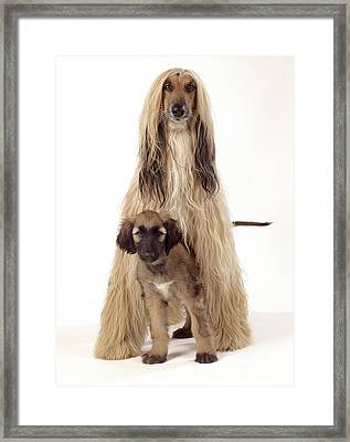 Afghan Hound And Puppy Framed Print by John Daniels