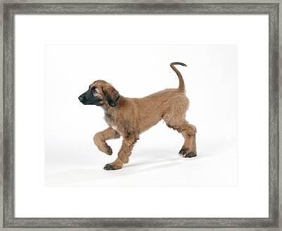 Afghan Hound Puppy Framed Print