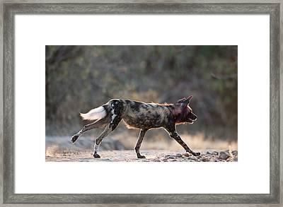 Africa Hunting Dog On The Run Framed Print by Tony Camacho