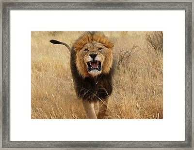 Africa, Namibia Aggressive Male Lion Framed Print by Jaynes Gallery