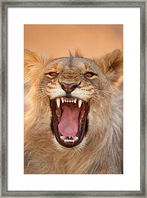 Africa, Namibia Male Lion Growling Framed Print by Jaynes Gallery