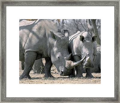 Africa, Namibia White Rhino Mother Framed Print by Jaynes Gallery