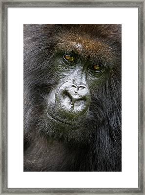 Africa Rwanda Female Mountain Gorilla Framed Print by Ralph H. Bendjebar