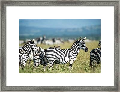 Africa, Tanzania, Zebras Framed Print