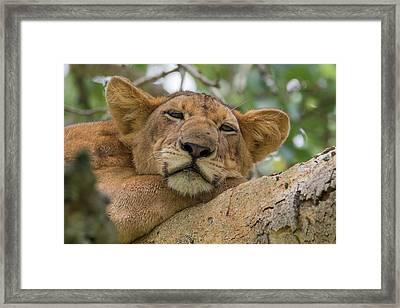 Africa, Uganda, Ishasha, Queen Framed Print