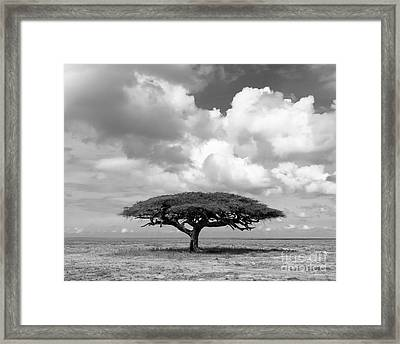 African Acacia Tree Framed Print by Chris Scroggins