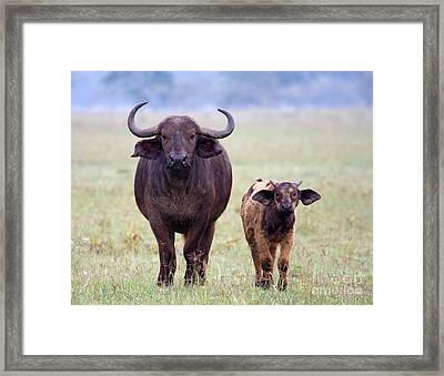 Framed Print featuring the photograph African Buffalo And Calf by Chris Scroggins