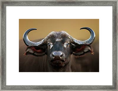 African Buffalo Cow Portrait Framed Print by Johan Swanepoel