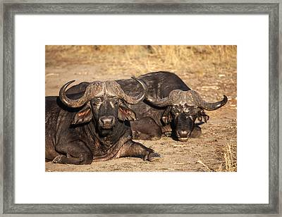 African Buffalo Framed Print by Craig Brown