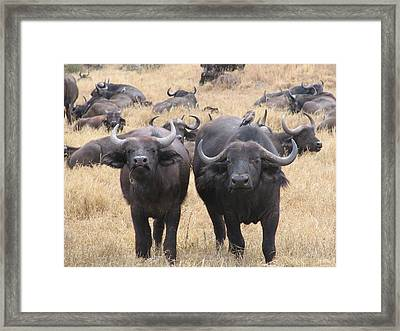 African Buffalo Framed Print by Jeff Chase