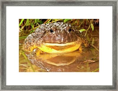 African Burrowing Bullfrog Framed Print by David Northcott