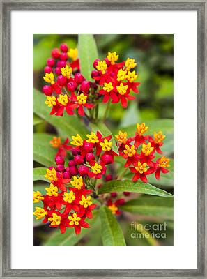 African Butterfly Weed Framed Print by Scotts Scapes