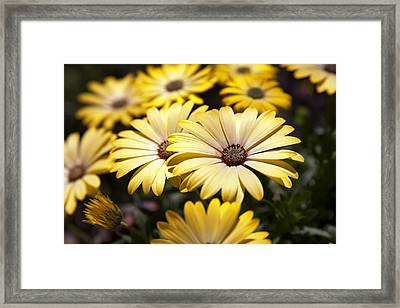 African Daisies Framed Print by Caitlyn  Grasso