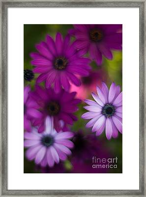 African Daisy Collage Framed Print by Mike Reid