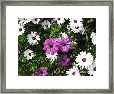 African Daisy In Laguna Niguel California Framed Print by Conni Schaftenaar