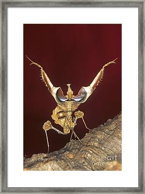 African Devil Mantis Framed Print by Francesco Tomasinelli