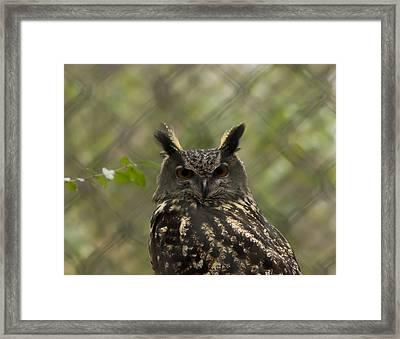 African Eagle Owl Framed Print