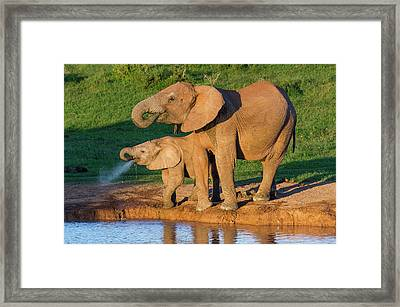African Elephant And Calf Drinking Framed Print by Peter Chadwick