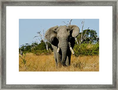 African Elephant Bull Framed Print by Daryl & Sharna Balfour