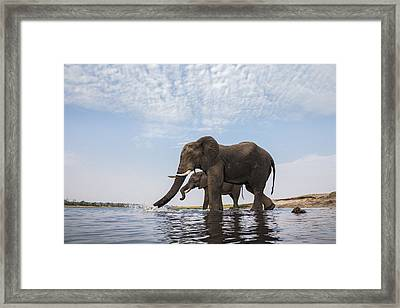 African Elephant Bulls Drinking Botswana Framed Print by Vincent Grafhorst