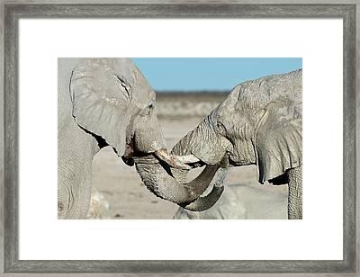African Elephant Bulls Drinking Water Framed Print by Tony Camacho